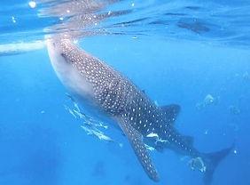 ジンベイザメ+シマラ教会セブ島オプショナルツアー/セブ島ツアー【セブセレクトツアーズ】