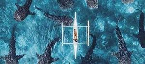 ジンベイザメ セブ島オプショナルツアー/セブ島ツアー【セブセレクトツアーズ】