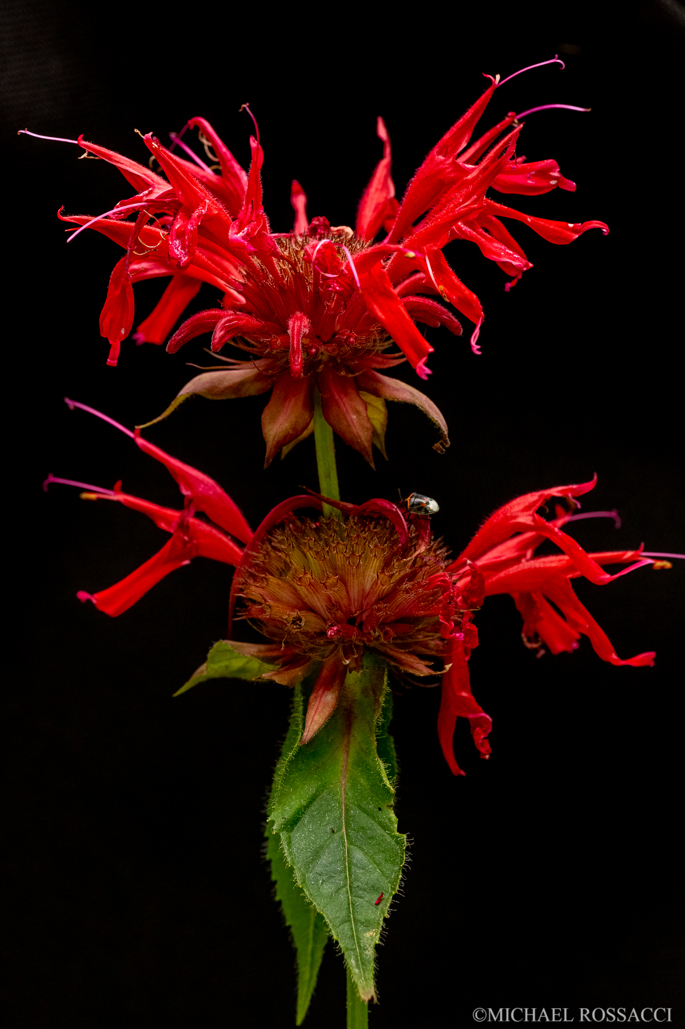 scarlet bee balm double