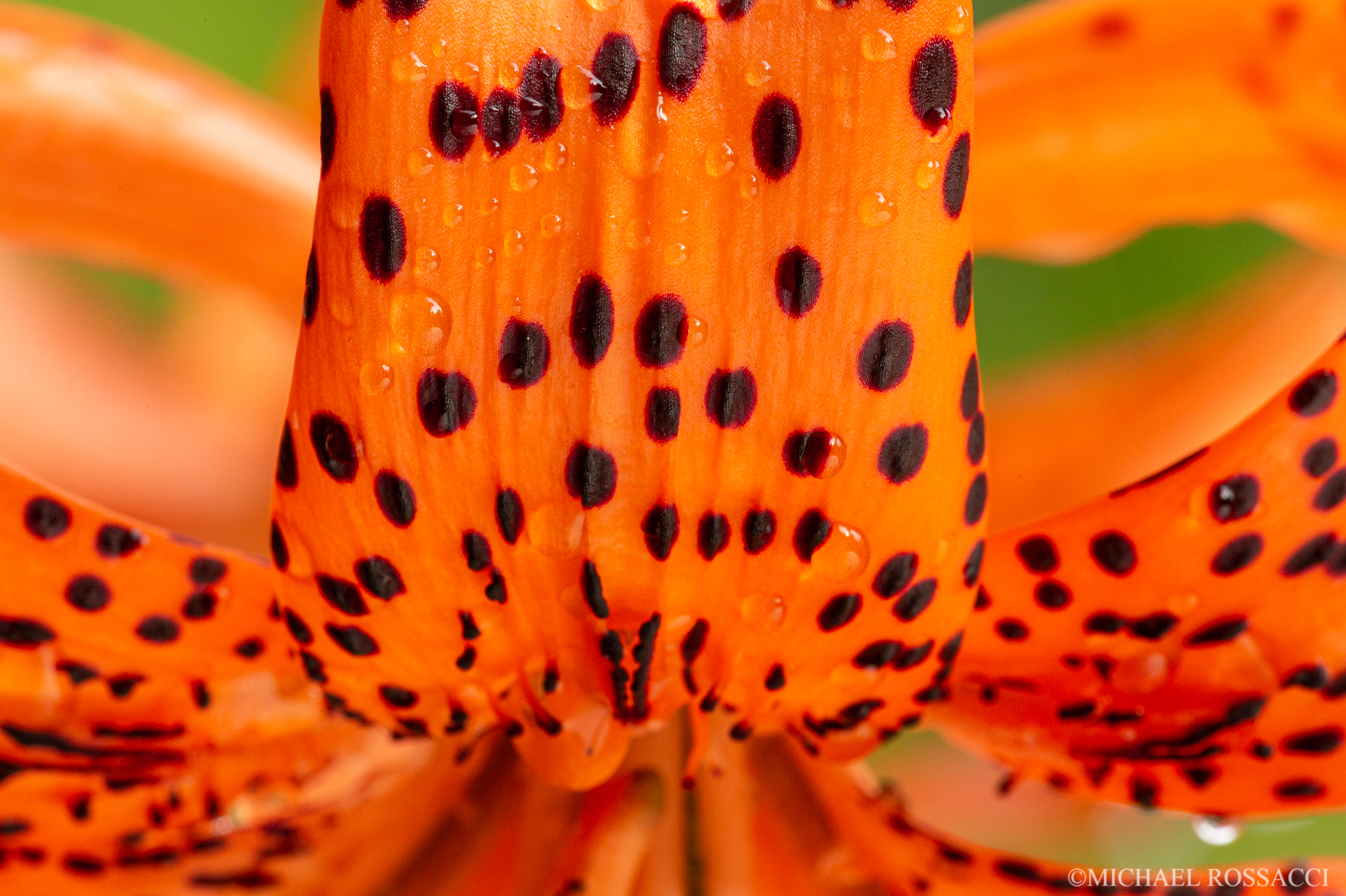 tiger lily closeup