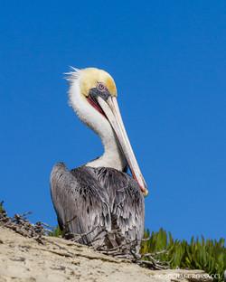 pelican lajolla