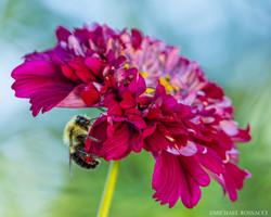 bumblebee cosmos