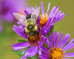 bumble bee aster