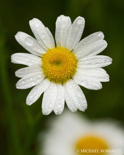 straight daisy