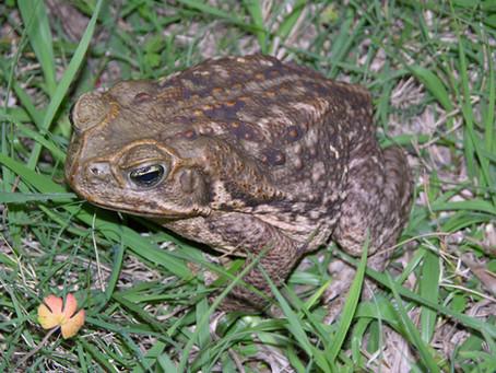 Bufo Toad Dangers!