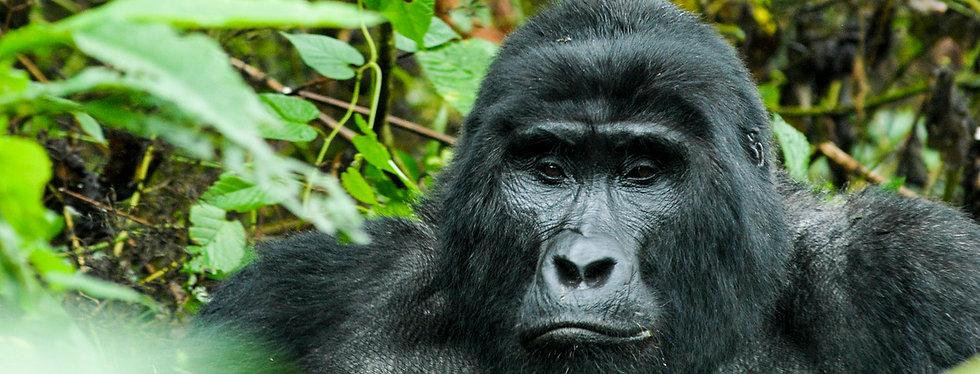 Gorilla Uganda Bwindi Forest