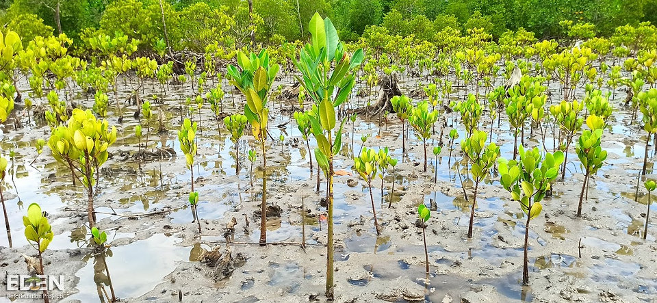 one year planting progress mangroves eden reforestation project zerosmart madagascar