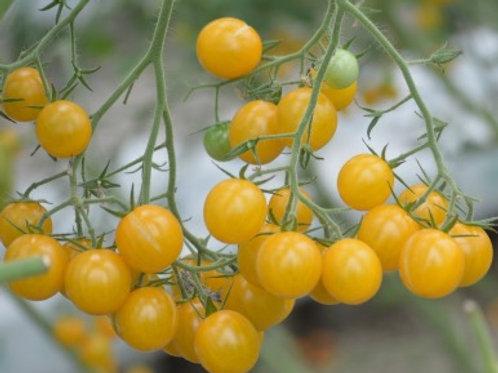 Cherry Tomato - Yellow ( Hydroponic )