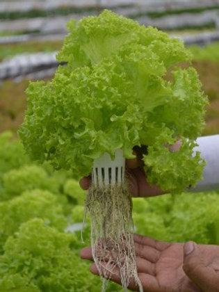 Lettuce - Lolo (Hydroponic)