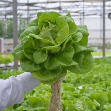 Lettuce - Butterhead (Hydroponic)