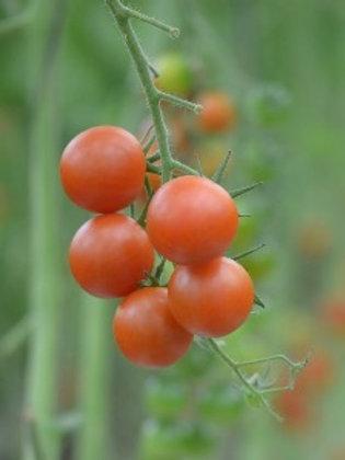 Cherry Tomato - Red ( Hydroponic )