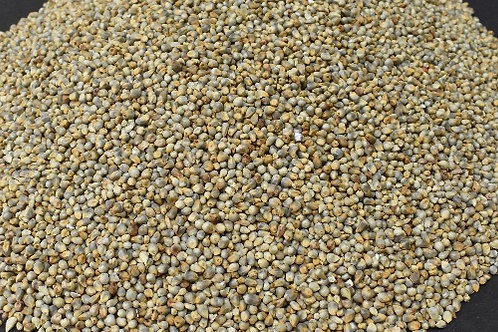 Pearl Millet ( Bajra )