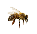 Bee-PNG-Background.png