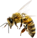bee_PNG74690.png