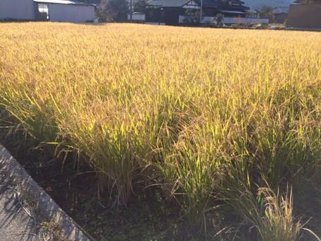 【イベント】稲刈り(米作り体験3/4)