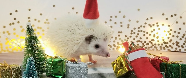 Christmas Hedgie Box