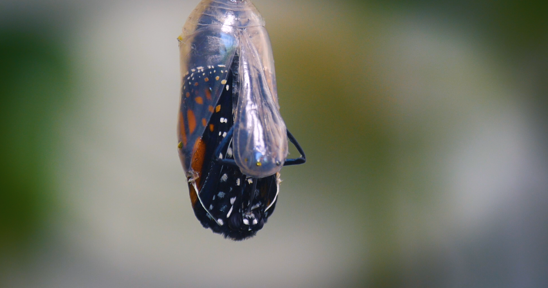 Monarch Hatching Passion Project