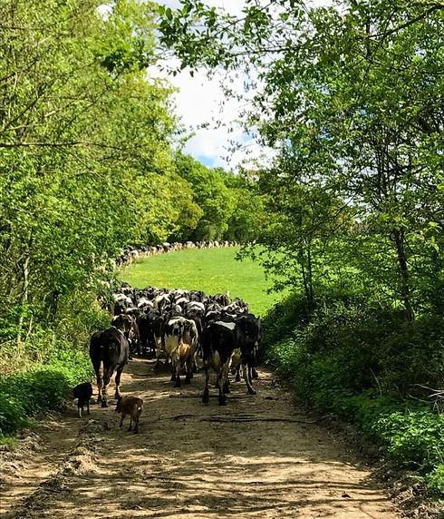 Latchett Farm Dairy Herd Cows