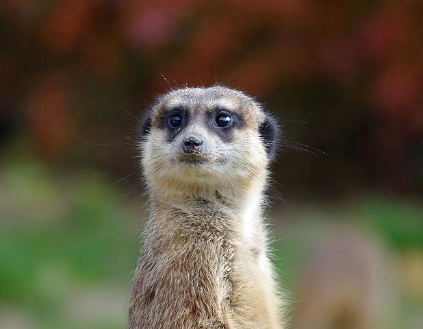 meerkat Q&A.jpg