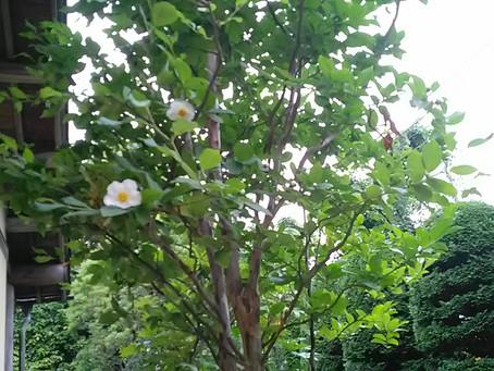 朝のひと時咲く「夏ツバキ」   初夏の涼しい早い時間に咲き・・・