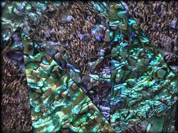 Green-Abalone-Large