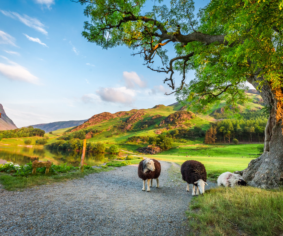 Curious sheeps on pasture in summer, Lak