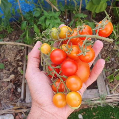 להניב 2,000 עגבניות משתיל בודד