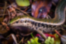 Otago green skink copy.jpg