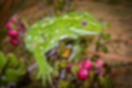 Jewelled gecko, inland Otago form (3) co