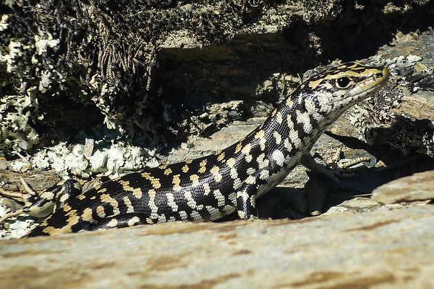 Otago skink, western (3) copy.jpg