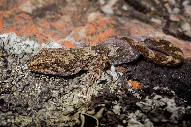 Schist gecko, Alexandra copy.jpg