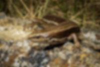 Southern grass skink, Central Otago (4)