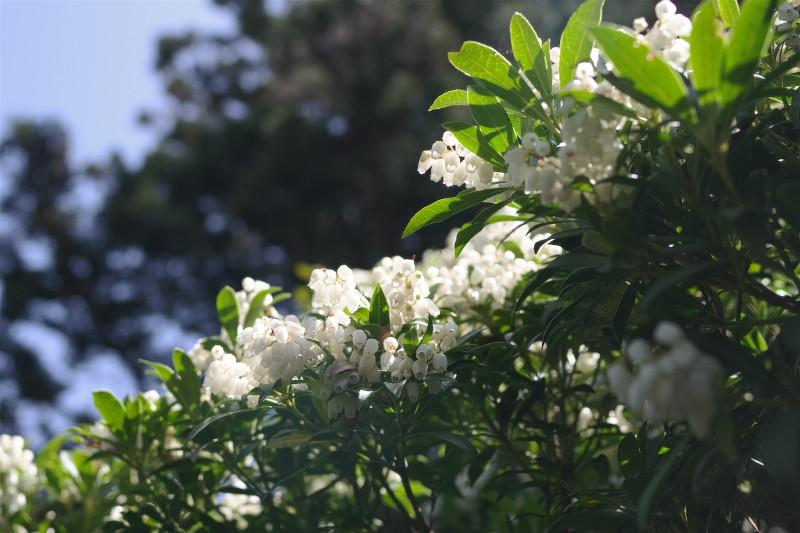 屋久島植物馬酔木、黒味岳登山コースにて。
