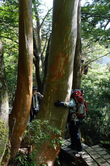 屋久島の植物ヒメシャラ