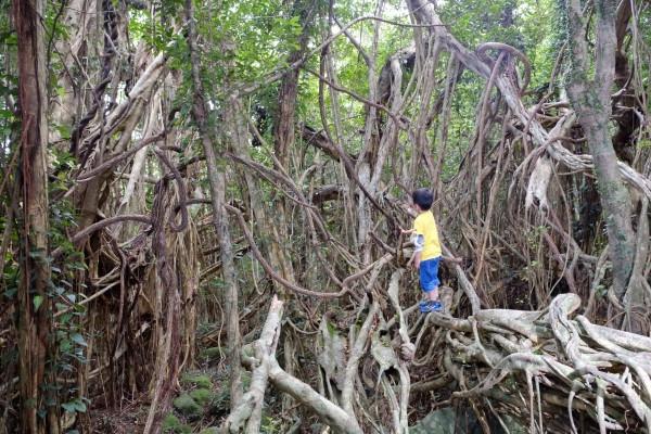 屋久島猿川のガジュマル、天然のジャングルジム