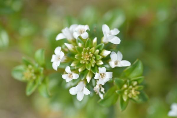 屋久島の植物ハマボッス