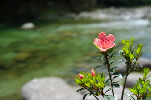 縄文杉コースの河原にてサツキ