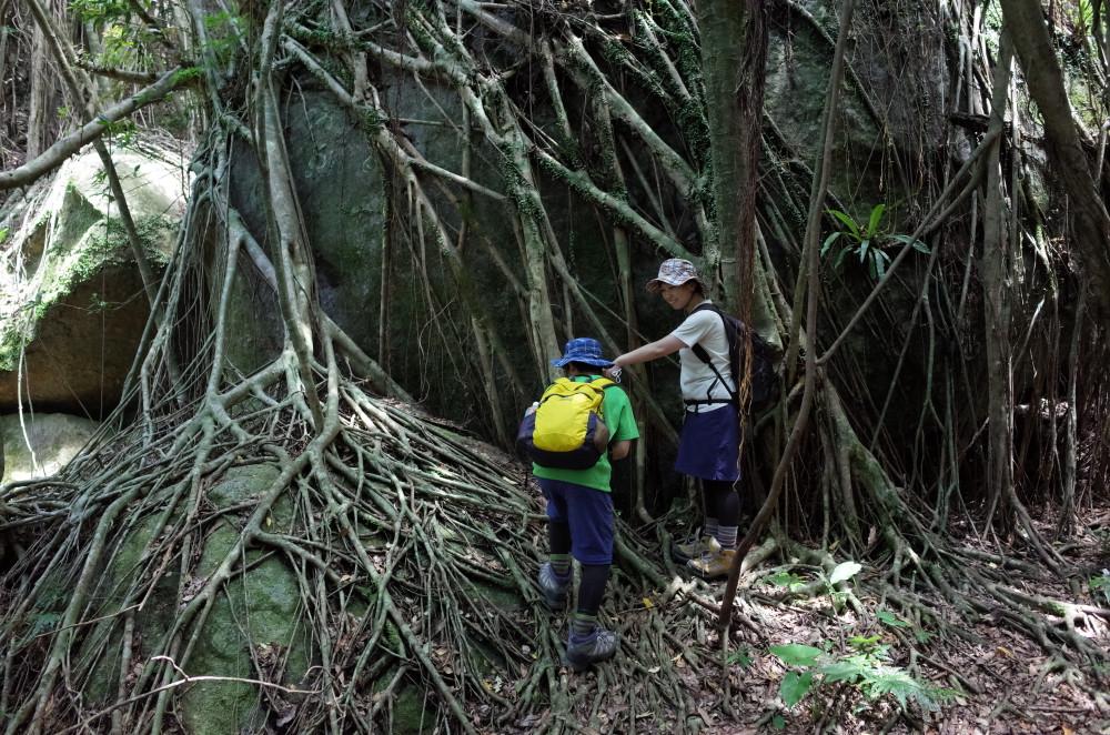 屋久島世界自然遺産の森西部林道のガジュマル