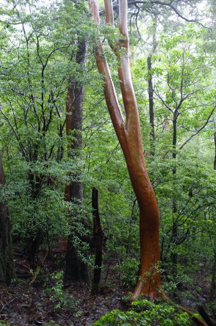 屋久島の森ヒメシャラの樹