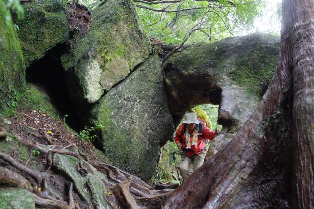 縄文杉ルートヤマグルマのトンネル
