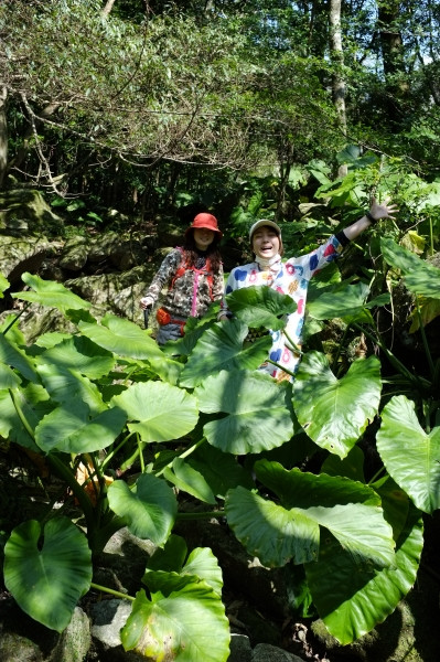 屋久島世界遺産の森の中でクワズイモ