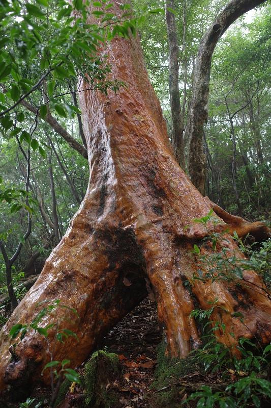 屋久島ヒメシャラの木