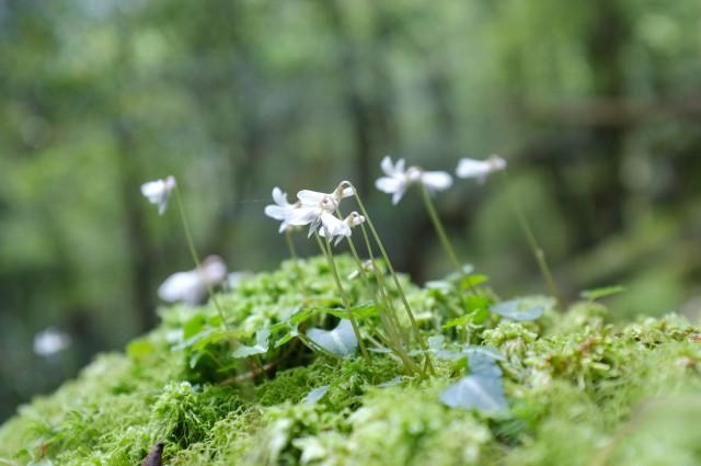ヤクシマミヤマスミレ、屋久島の植物
