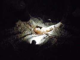 ウミガメの産卵風景