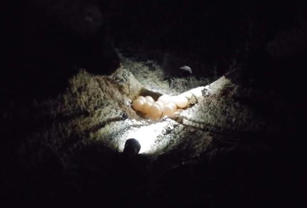 屋久島ウミガメ産卵.jpg
