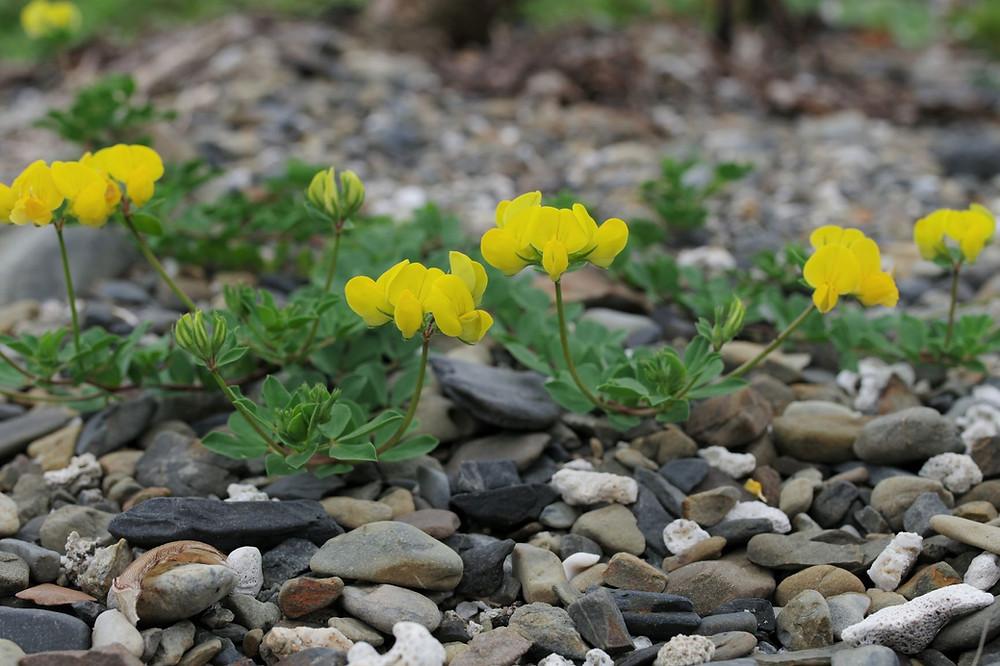屋久島の植物・花ハマアズキ