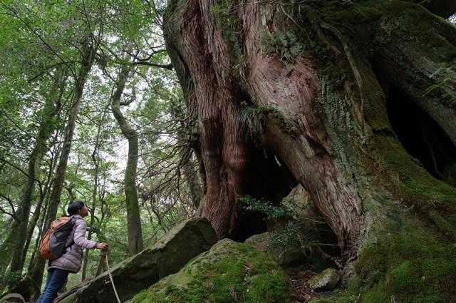 ヤクスギランド・白谷雲水峡の大きな屋久杉