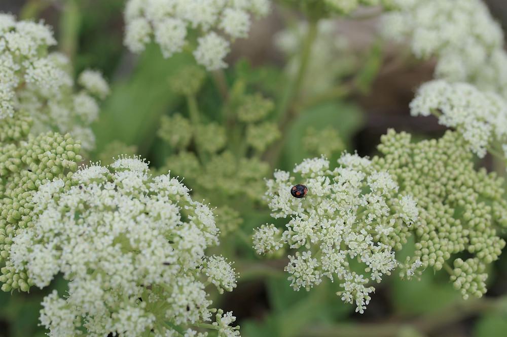 屋久島の植物・花ボタンボウフウ