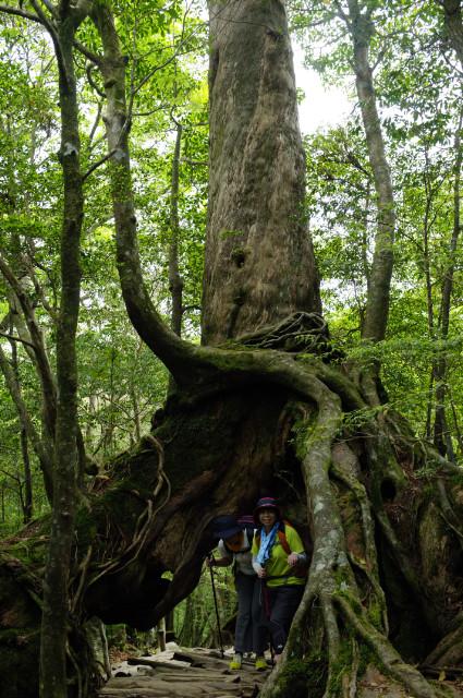屋久島白谷雲水峡くぐり杉
