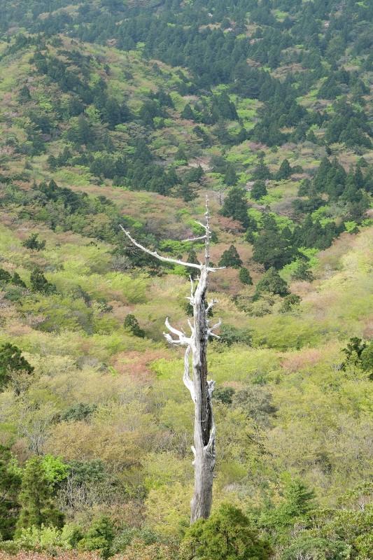 屋久杉自然のオブジェ